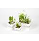 GARTENKRONE Bepflanztes Arrangement, Holzwürfel mit Frühlingsblühern-Thumbnail