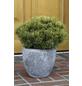 Bergkiefer mugo Pinus »Ophir«-Thumbnail