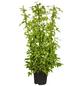 GARTENKRONE Bergwaldrebe, Clematis montana »Grandiflora«, weiß, winterhart-Thumbnail