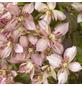 GARTENKRONE Bergwaldrebe, Clematis montana »Majorie«, Blüten: rosa-Thumbnail