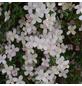 GARTENKRONE Bergwaldrebe, Clematis montana »Rubens«, rosa, winterhart-Thumbnail