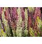 Beauty Ladies Besenheide, Calluna vulgaris  »High Five«, Wuchshöhe: 50 cm, Blüte: mehrfarbig-Thumbnail