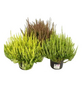 Garden Girls Besenheide, Calluna vulgaris , max. Wuchshöhe: 30 cm, Blüte: mehrfarbig-Thumbnail
