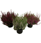 Garden Girls Besenheide, Calluna vulgaris, max. Wuchshöhe: 40 cm, Blüte: mehrfarbig-Thumbnail