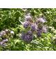 SAATGUT DILLMANN BIO-Phacelia tanacetifolia Phacelia-Thumbnail