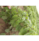 SAATGUT DILLMANN BIO-Physalis dulceria Physalis-Thumbnail