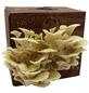 Bio Pilzzuchtbox Limonenpilz, Nutzung im Haus-Thumbnail