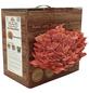 Bio Pilzzuchtbox Rosenseitling, Nutzung im Haus-Thumbnail