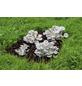 Bio Waldpilzbeet  Austernpilz, für den Garten-Thumbnail
