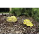 Bio Waldpilzbeet Limonenpilz, für den Garten-Thumbnail