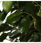 GARTENKRONE Birkenfeige Ficus benjamina-Thumbnail