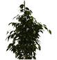 GARTENKRONE Birkenfeige Ficus benjamina 110 cm-Thumbnail
