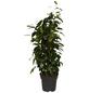 GARTENKRONE Birkenfeige Ficus benjamina 75 cm-Thumbnail