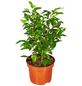 GARTENKRONE Birkenfeige Ficus benjamina »Natasja«-Thumbnail