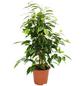 Birkenfeige Ficus benjamini »Anastasia«-Thumbnail