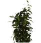 GARTENKRONE Birkenfeige, Ficus benjamini »in Sorten«, im Kunststoff-Kulturtopf-Thumbnail