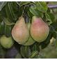 GARTENKRONE Birne, Pyrus communis »Clapps Liebling«, Früchte: süß, zum Verzehr geeignet-Thumbnail