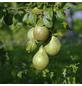 GARTENKRONE Birne, Pyrus communis »Gräfin von Paris«, Früchte: süß, zum Verzehr geeignet-Thumbnail