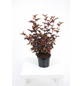 GARTENKRONE Blasenspiere Physocarpus Opulifolius »Center Glow-R«-Thumbnail