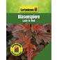 GARTENKRONE Blasenspiere, Physocarpus Opulifolius »Lady In Red «, creme, winterhart-Thumbnail
