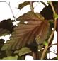 GARTENKRONE Blasenspiere Physocarpus Opulifolius »Lady In Red -R-«-Thumbnail