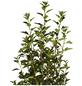 GARTENKRONE Blasenspiere, Physocarpus opulifolius »Little Devil «, creme, winterhart-Thumbnail