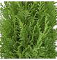 GARTENKRONE Blaue Kegelzypresse, Chamaecyparis lawsoniana »Ellwoodii«, winterhart-Thumbnail