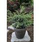 Blauer Wacholder Juniperus Juniperus »Blue Alps«-Thumbnail