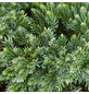 GARTENKRONE Blauer Zwergwacholder Juniperus squamata »Blue Star«-Thumbnail