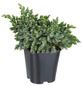 GARTENKRONE Blauer Zwergwacholder, Juniperus squamata »Blue Star«, winterhart-Thumbnail