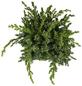 GARTENKRONE Blauer Zwergwacholder Juniperus squamata »Blue Swede«-Thumbnail