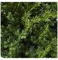GARTENKRONE Blauer Zwergwacholder, Juniperus squamata »Blue Swede«, winterhart-Thumbnail