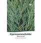 Blauer Zypressen-Wacholder scopulorum Juniperus »Blue Arrow«-Thumbnail
