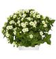 GARTENKRONE Blaues Lieschen, Exacum affine, Blüte: mehrfarbig-Thumbnail