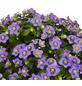 GARTENKRONE Blaues Lieschen »Exacum Affine«, Mehrfarbig-Thumbnail