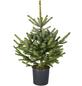 HELMUT TRIPPE Blaufichte Picea pungens »Glauca«, im Topf, Höhe: 60 - 100 cm-Thumbnail
