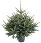 Blaufichte Picea pungens »Glauca«, im Topf, Höhe: 80 - 100 cm-Thumbnail