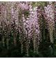 Blauregen, Wisteria Sinensis, Blüten: rosa-Thumbnail