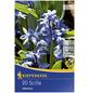 KIEPENKERL Blausternchen Scilla Scilla siberica »Scilla siberica«-Thumbnail