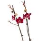 GARTENKRONE Blühpflanze-Thumbnail