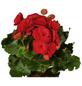 GARTENKRONE Blühpflanze Begonie elatior-Thumbnail