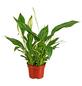 GARTENKRONE Blühpflanze Einblatt wallisii-Thumbnail