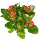 GARTENKRONE Blühpflanze Flammendes Käthchen blossfeldiana-Thumbnail