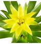 GARTENKRONE Blühpflanze Guzmanie hybrid, gelb-Thumbnail
