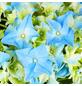 Blühpflanze Hortensie macrophylla, blau-Thumbnail