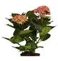 Blühpflanze Hortensie macrophylla, rosa-Thumbnail