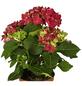 Blühpflanze Hortensie macrophylla, rot-Thumbnail