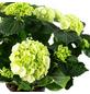 Blühpflanze Hortensie macrophylla, weiß-Thumbnail