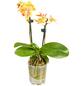 GARTENKRONE Blühpflanze Im Topf-Thumbnail