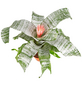 GARTENKRONE Blühpflanze Lanzenrosette fasciata, rosa-Thumbnail